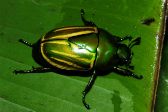 Macraspis Sp, Rain Forest Beetles , 7 Rainforest Beetles Pictures In Beetles Category