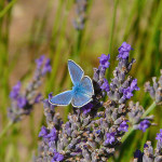 Male Adonis Blue Butterfly , 4 Adonis Blue Butterfly Pictures In Butterfly Category