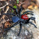 Male red headed mouse spider , 5 Mouse Spider Facts In Spider Category
