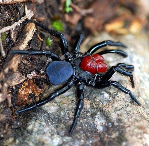 Spider , 5 Mouse Spider Facts : Male Red Headed Mouse Spider