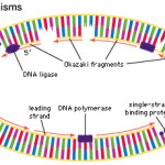Mcgraw Hill Animations Dna Replication , 5 Animated Dna Replication In Cell Category