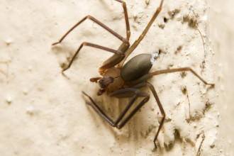 Mediterranean Recluse brown spider in Laboratory