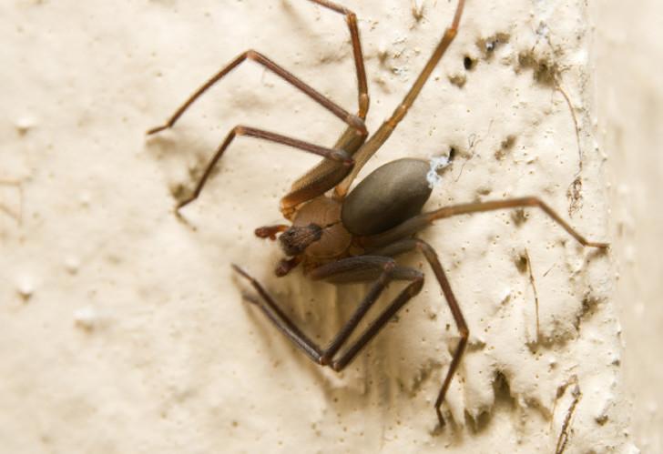 Spider , 6 Brown Lacrosse Spider Pictures : Mediterranean Recluse Brown Spider