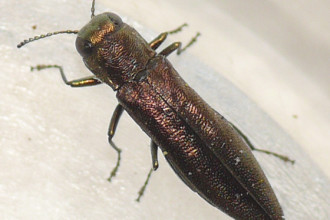 Metallic wood boring beetle in Birds