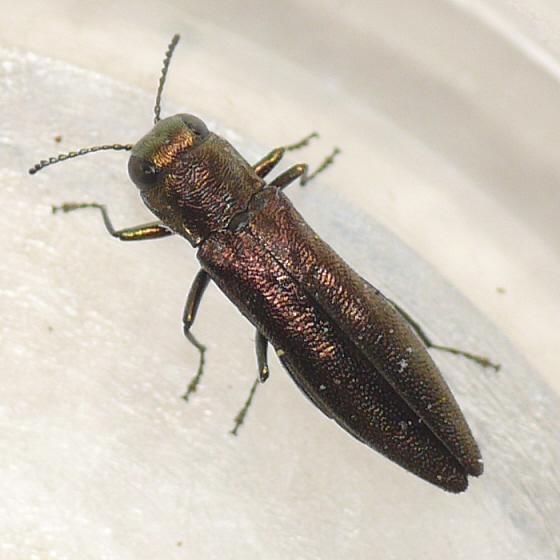 Beetles , 6 Pictures Of Wood Boring Beetle : Metallic Wood Boring Beetle