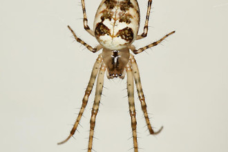 Metellina Segmentata Brown And White Spider , 7 Brown And White Spider Photos In Spider Category