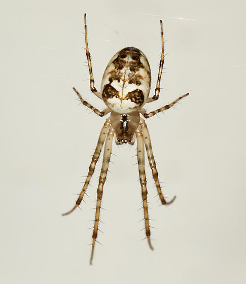 Spider , 7 Brown And White Spider Photos : Metellina Segmentata Brown And White Spider