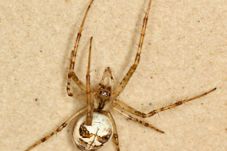 Metellina Segmentata Spider , 7 Brown And White Spider Photos In Spider Category