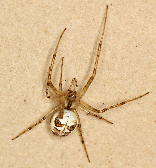 Spider , 7 Brown And White Spider Photos : Metellina Segmentata Spider