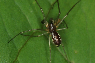 Spider , 7 Brown And White Spider Photos : Microlinyphia dana spider