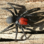 Missulena occatoria , 5 Mouse Spider Facts In Spider Category