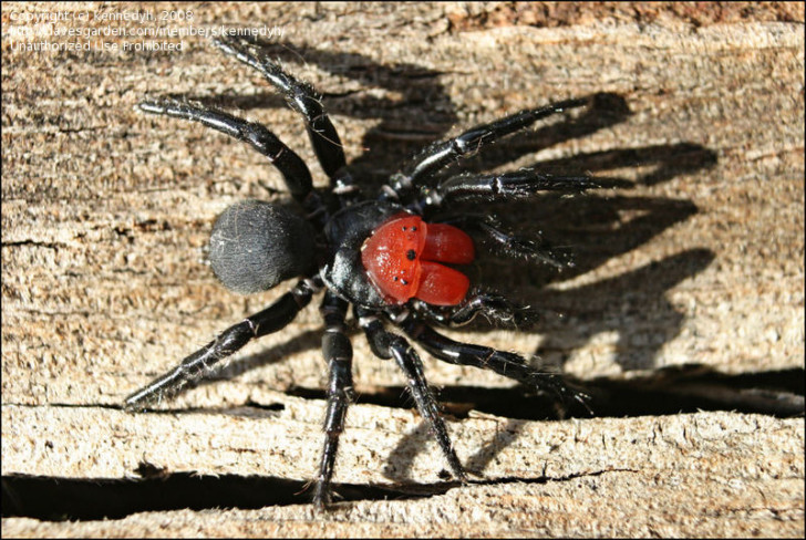 Spider , 5 Mouse Spider Facts : Missulena Occatoria