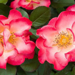 Modern Garden Roses , 7 Modern Roses Names In Plants Category