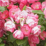 Modern Shrub Rose , 7 Modern Roses Names In Plants Category