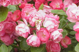 Modern Shrub Rose in Butterfly