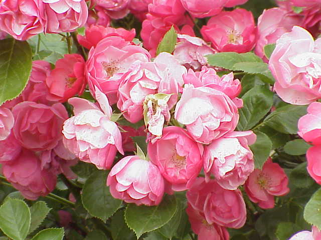 Plants , 7 Modern Roses Names : Modern Shrub Rose