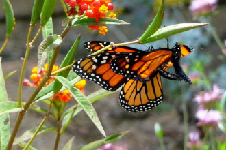 Monarch Butterflies mating in Plants