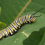 Monarch Butterfly CaterpillarSummer , 8 Monarch Butterfly Caterpillar In Butterfly Category