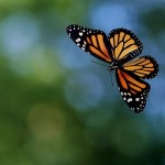 Monarch Butterfly Flying Wallpaper , 6 Photos Of Monarch Butterfly Flying In Butterfly Category