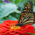 Monarch-Butterfly in a flower , 6 Monarch Butterfly Images In Butterfly Category