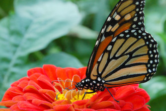 Monarch Butterfly In A Flower , 6 Monarch Butterfly Images In Butterfly Category
