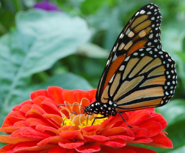 Butterfly , 6 Monarch Butterfly Images : Monarch Butterfly In A Flower