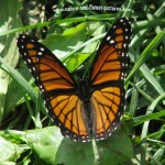Monarch-Butterfly in a flower , 6 Monarch Butterfly Images In Butterfly Category