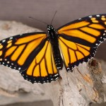 Monarch-Butterfly in a wood , 6 Monarch Butterfly Images In Butterfly Category