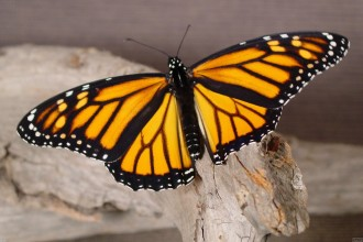 Monarch Butterfly In A Wood , 6 Monarch Butterfly Images In Butterfly Category