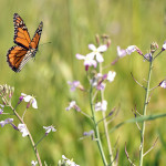 Monarch Butterfly is flying through Wildflowers , 6 Photos Of Monarch Butterfly Flying In Butterfly Category