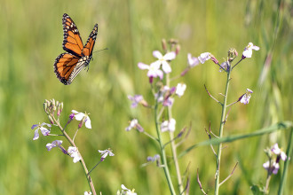 Monarch Butterfly is flying through Wildflowers in Beetles