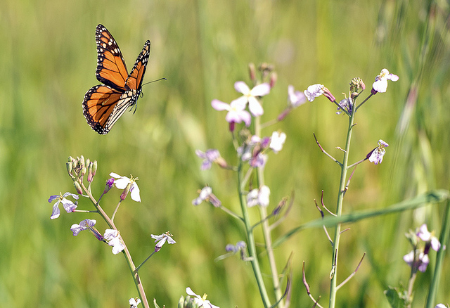 Butterfly , 6 Photos Of Monarch Butterfly Flying : Monarch Butterfly Is Flying Through Wildflowers