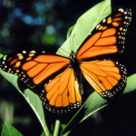 Monarch-Butterfly wing , 6 Monarch Butterfly Images In Butterfly Category