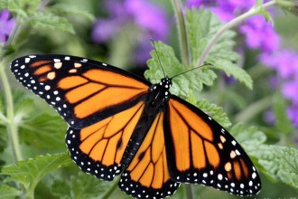 Monarch Butterflies , 6 Monarch Butterflies In Butterfly Category