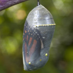 Monarch butterfly chrysalis , 7 Monarch Butterfly Pupa Photos In Butterfly Category