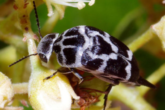 Mordella Knulli Beetle , 6 White Beetle Bug In Beetles Category