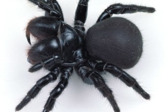 Mouse Spiders in Dog