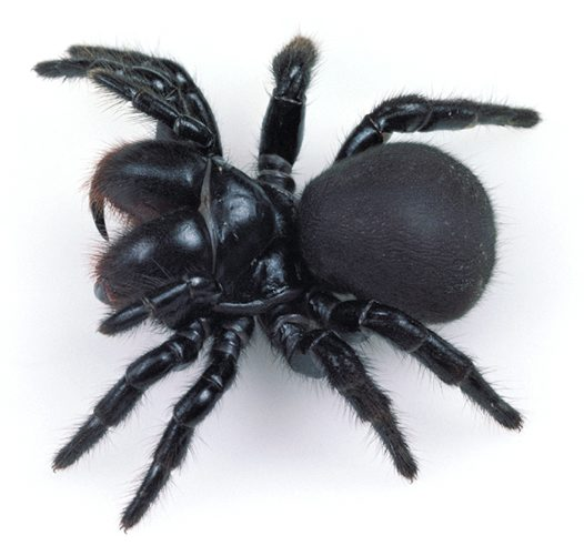 Spider , 5 Mouse Spider Facts : Mouse Spiders