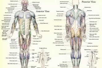 Muscle Anatomy Muscles Body Labeled in Laboratory