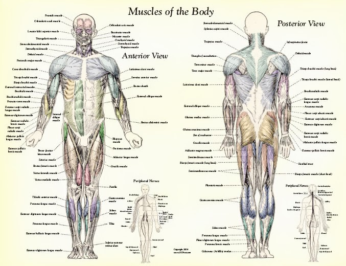 Muscles , 4 Human Body Muscles Labeled : Muscle Anatomy Muscles Body Labeled