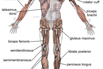 Muscle Posterior Labeled , 4 Human Body Muscles Labeled In Muscles Category