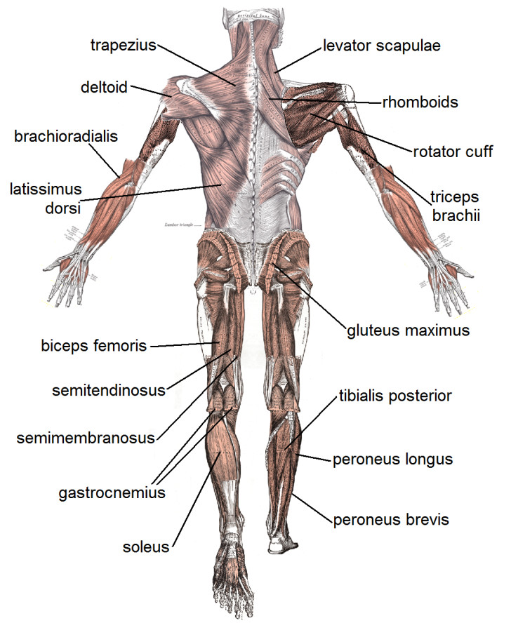 Muscles , 4 Human Body Muscles Labeled : Muscle Posterior Labeled