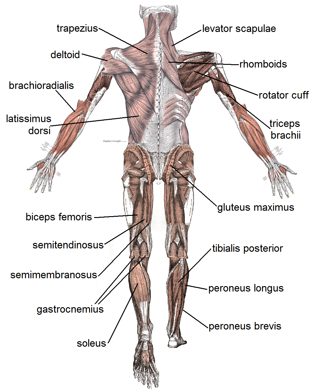 Muscle posterior labeled 4 human body muscles labeled biological muscles 4 human body muscles labeled muscle posterior labeled ccuart Image collections