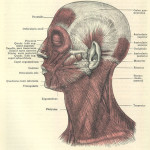 Muscular Anatomy of the Face , 4 Facial Muscles Anatomy In Muscles Category
