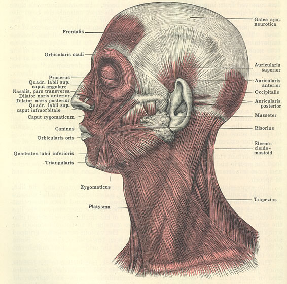 Muscular Anatomy Of The Face 4 Facial Muscles Anatomy Biological