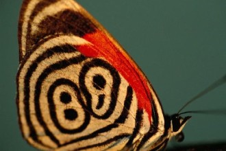 Neglected Eighty Eight Butterfly , 7 Pictures Of Eighty Eight Butterfly In Butterfly Category