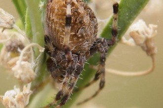 Neoscona arabesca hairy brown spider in Plants