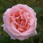 Old pink Roses , 6 Old Roses Varieties In Plants Category