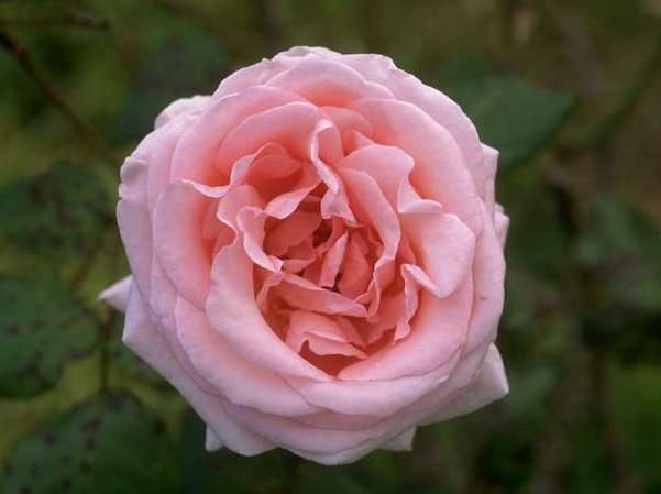 Plants , 6 Old Roses Varieties : Old Pink Roses