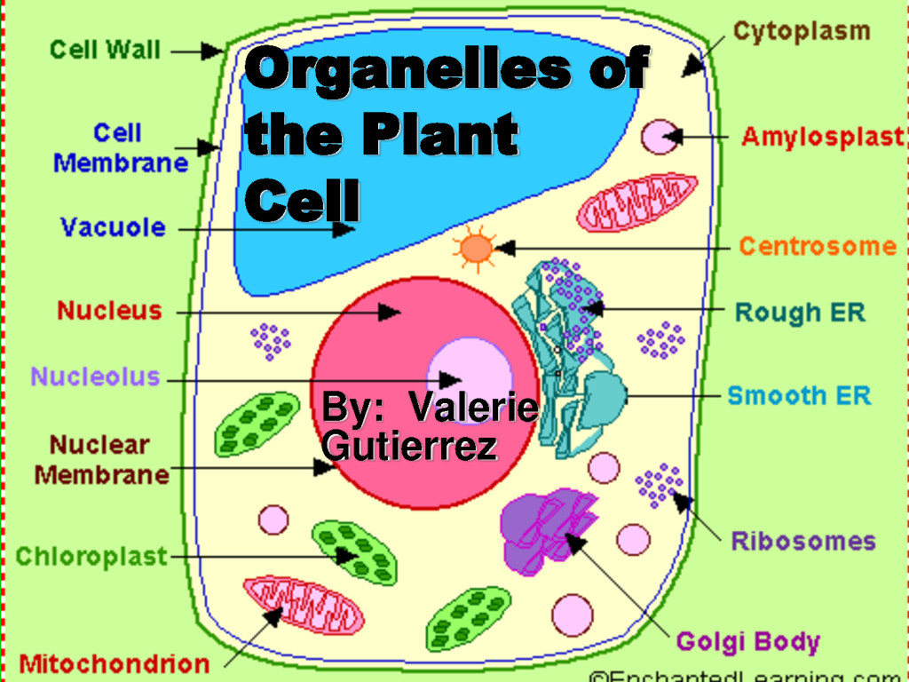 Organelles of the Plant Cell pic 1